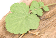 Green leaf on wood. Green leaf lying on a piece of split wood. Close-up Stock Photos