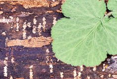 Green leaf on wood. Green leaf lying on a piece of split wood. Close-up Stock Photography