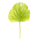 Green leaf of Wood violet or Viola odorata isolated on white background Royalty Free Stock Image