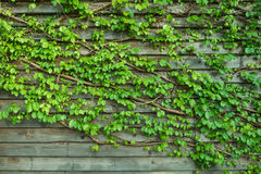 Green leaf on wooden wall. Natural vines and green leaf turn on a horizontal pattern wooden wall background Royalty Free Stock Photos