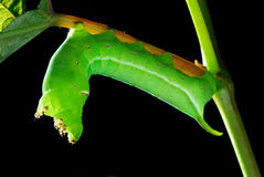 Green leaf worm Royalty Free Stock Images