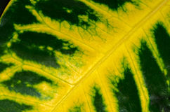 Green leaf with yellow veins Stock Photography