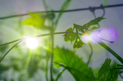 Green leaf of young grapes Royalty Free Stock Image