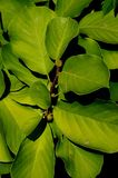 Green leafage and bud of lilytree or Yulan magnolia, latin name Magnolia Denudata on dark background. Royalty Free Stock Photos