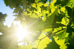 Green leafe  of maple in sunny day. Stock Images