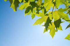 Green leafe  of maple in sunny day. Stock Photos