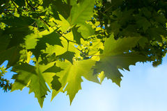 Green leafe  of maple in sunny day. Stock Image
