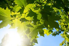 Green leafe  of maple in sunny day. Royalty Free Stock Images
