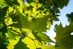 Green leafe  of maple in sunny day. Royalty Free Stock Photo