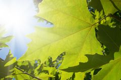 Green leafe  of maple in sunny day. Royalty Free Stock Photos