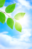 Green leafe  in sunny day. Stock Photo