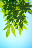 Green leafe in sunny day. Royalty Free Stock Photos