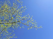 Green leafed branch against blue sky backround Stock Images
