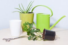 Healthy looking green potted plants. Green leafed indoor potted plants with a bright green plastic watering pot stock photos