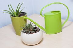 Healthy looking green potted plants. Green leafed indoor potted plants with a bright green plastic watering pot, two variations of aloe stock image
