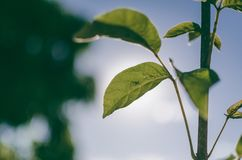 Green Leafed Plant royalty free stock photography