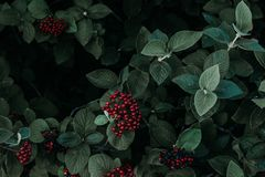 Green Leafed Plant With Red Fruit royalty free stock photo