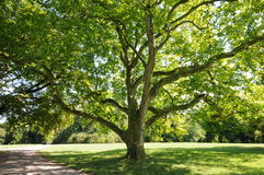 Green leafed tree. In a public park outside of Weimar,Germany Stock Photo