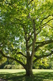 Green leafed tree. In a public park outside of Weimar,Germany Royalty Free Stock Photography