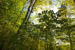 Green Leafed Trees Backlit Sun. Green leafed trees with a backlit sun and blue sky in the north Georgia wooded forest stock images