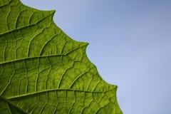 green leafen Fotografering för Bildbyråer