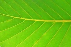 green leafen Arkivfoto
