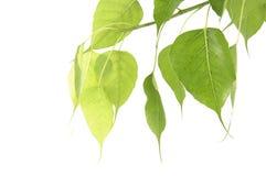 green leafen Royaltyfria Bilder