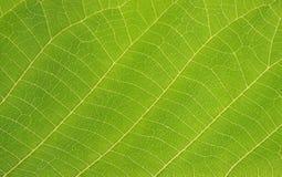green leafen arkivbild