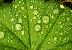Green leafen royaltyfria foton