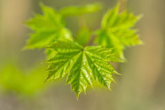 Green leafes. Green ahorn leafes macro picture Stock Photos