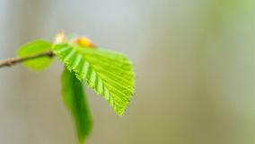 Green leafes. Green beech tree leafes macro picture Stock Photos