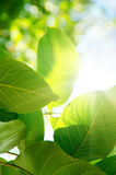Green Leafes In Sunny Day Stock Photo