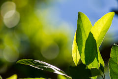 Green leafes in sunny day Stock Photography