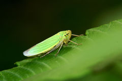 Green leafhopper Royalty Free Stock Photos