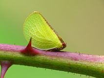 Green Leafhopper On Thorny Stem. Closeup of a green Leafhopper on a thorny stem royalty free stock photography