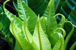 Green leaflet of Bird's nest fern Stock Images