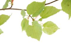 Green leaflets Royalty Free Stock Photo