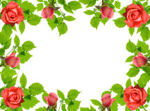 Green leaflets and roses. Frame from green leaflets and roses over white background Stock Photos