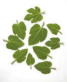 Green leafs Royalty Free Stock Images