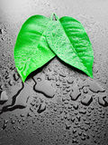 Green leafs Royalty Free Stock Photography
