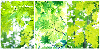 Green leafs. In summer time Stock Images