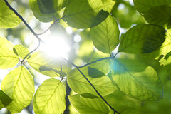 Free Green Leafs Royalty Free Stock Photos - 86012138