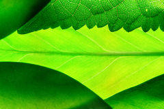 Green leafs. Closeup Stock Photography