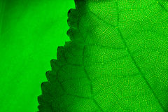 Green leafs Stock Photos