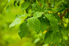 Green Leafs After Rain Royalty Free Stock Photography