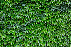 Green leafs background. Garden green wall with leafs background royalty free stock photos
