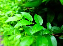 green leafs for background , natural wallpaper. Royalty Free Stock Image