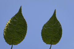 Green leafs in backlight on blue. Two structured green leafs on blue sky Royalty Free Stock Photos