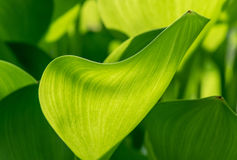 Green leafs Royalty Free Stock Photos