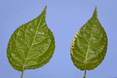 Green leafs on blue. Two green leafs on blue sky Royalty Free Stock Photography